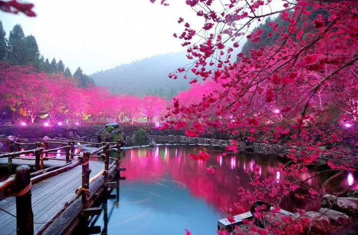 cherry blossom japan one of the most beautiful places in the world