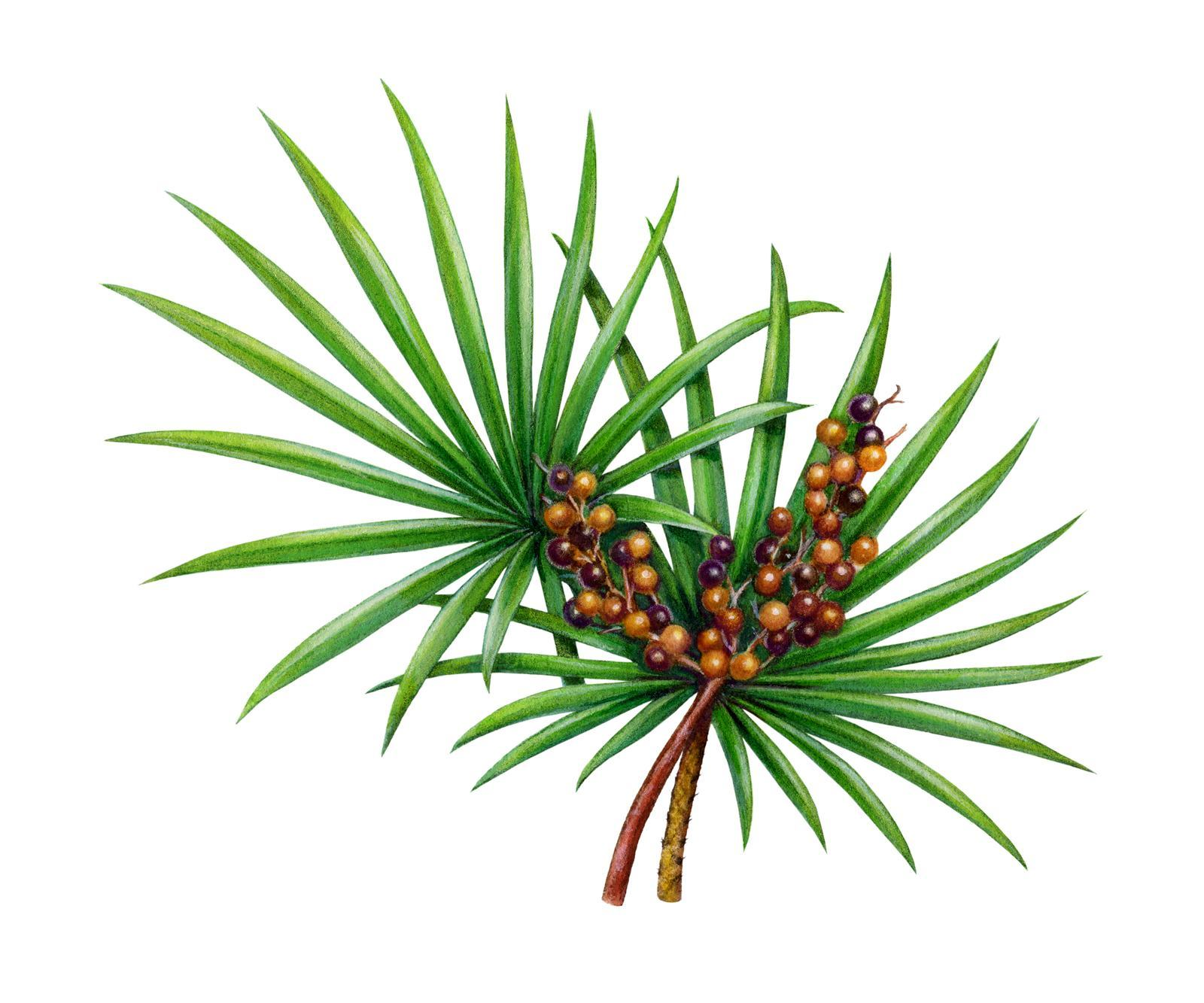 Saw Palmetto for hair growth